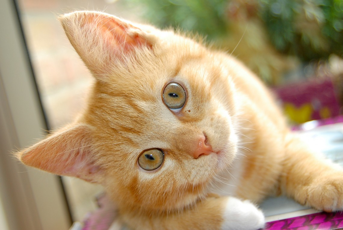 Curious red kitten