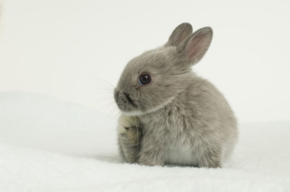 12-of-the-cutest-smallest-breeds-of-rabbits-in-the-world-51dd5bbcdfefd