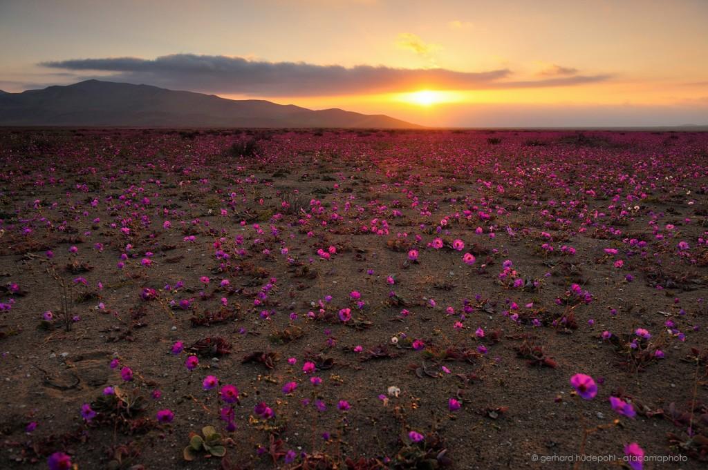 Atacama Desert in bloom at sunset