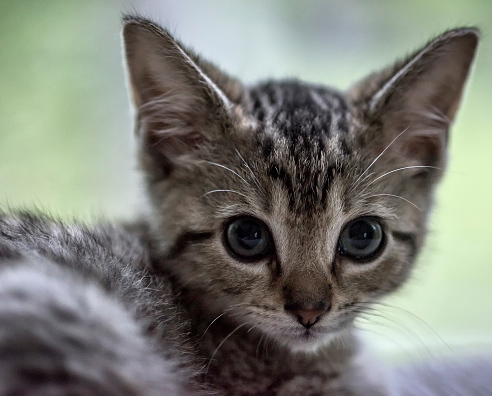 UNITED STATES - 2015/06/29: Adorable tabby kitten portrait. (Photo by John Greim/LightRocket via Getty Images)