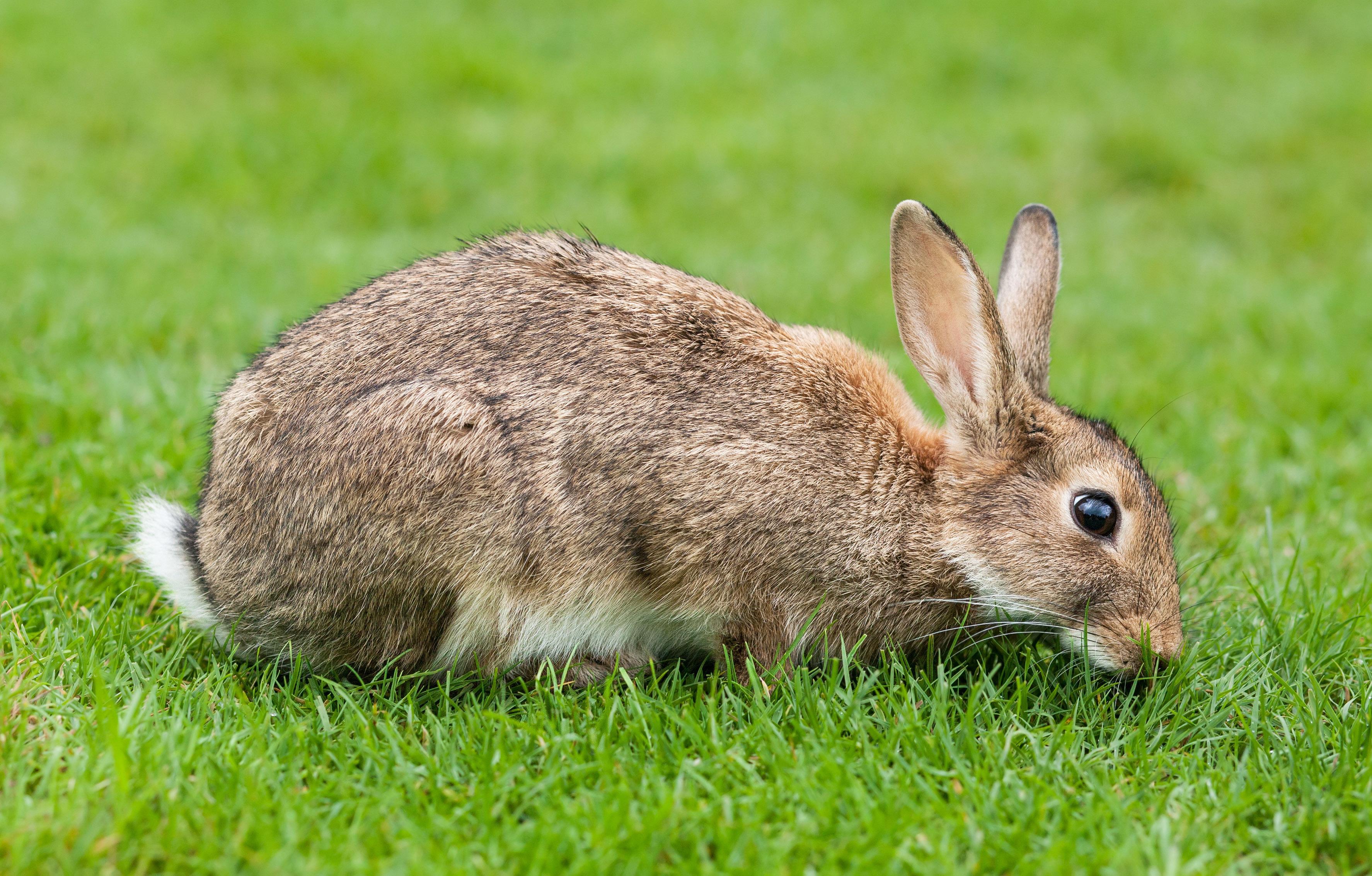 coelho-comendo