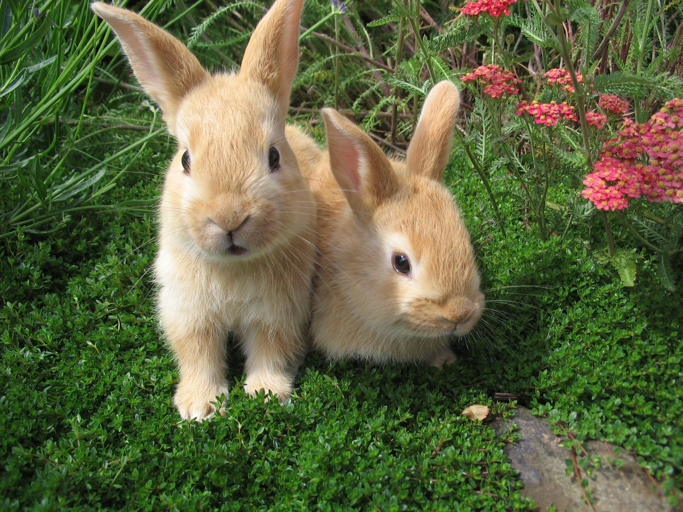 Raising Pet Rabbits