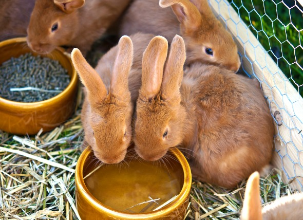excess-urine-excess-thirst-rabbits