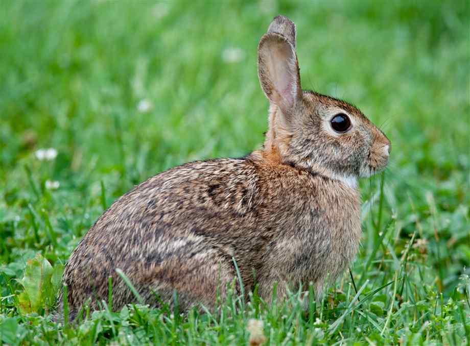 rabbit-18