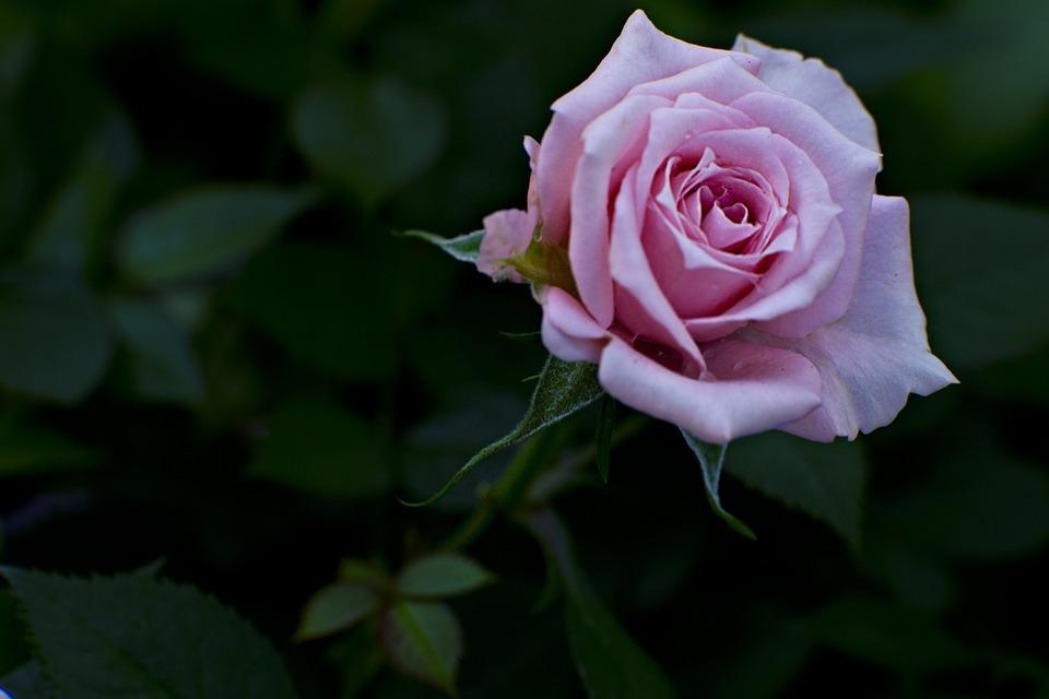 rose-1490486_960_720