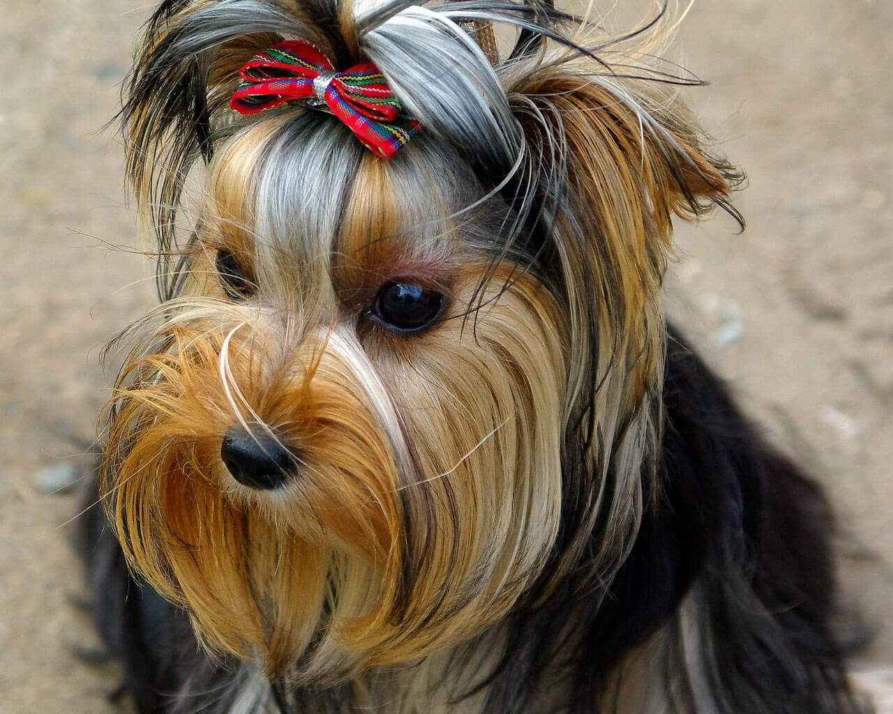 york-terrier