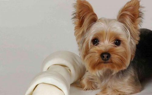 yorkshire-terrier-9-500x313