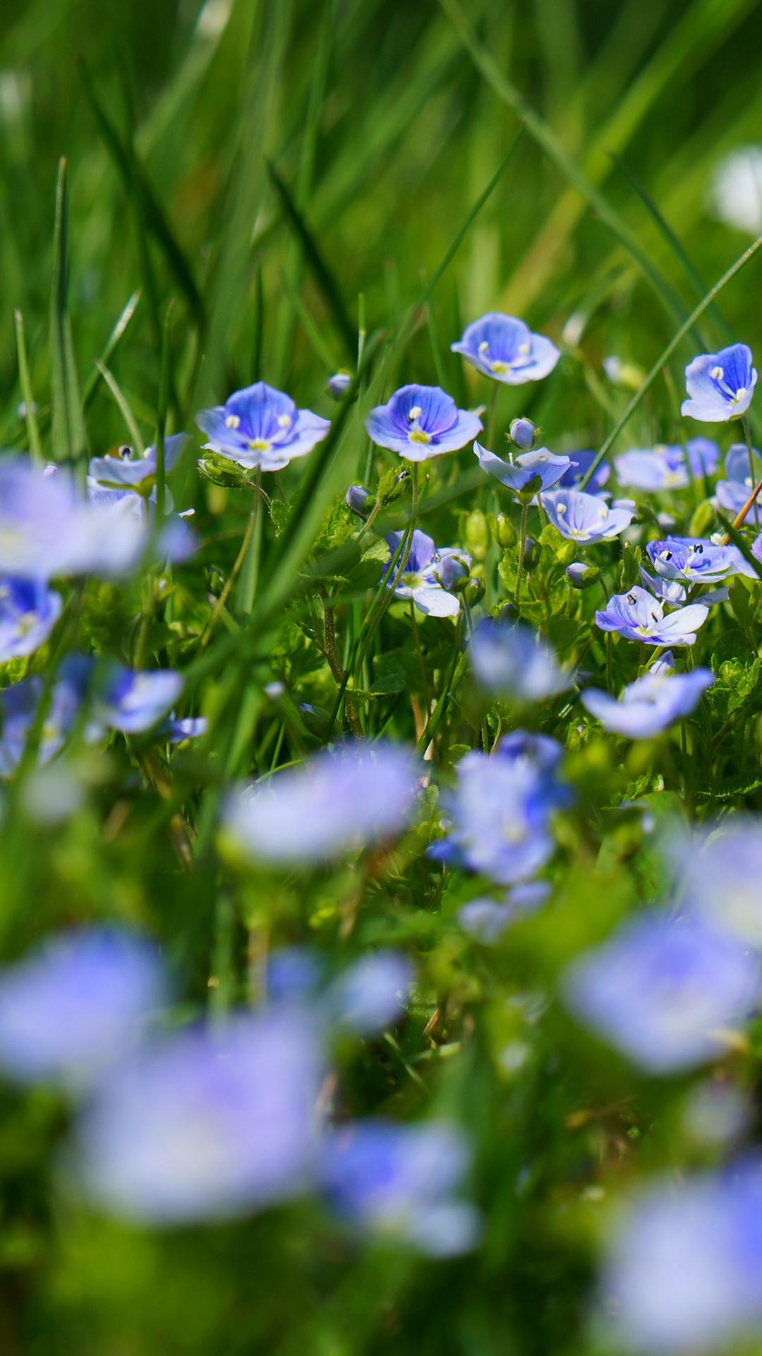 chamaedrys-flowers-2223