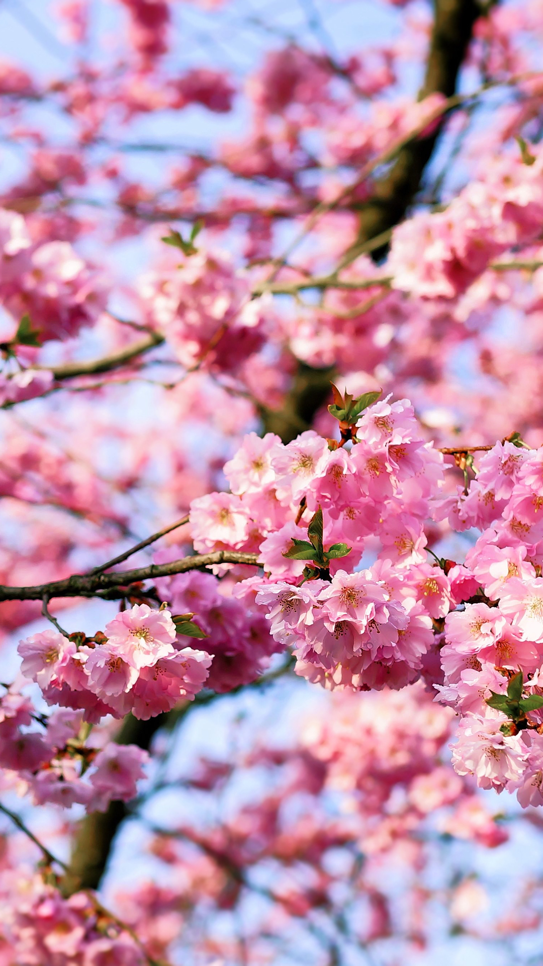 cherry-blossom-tree-1141