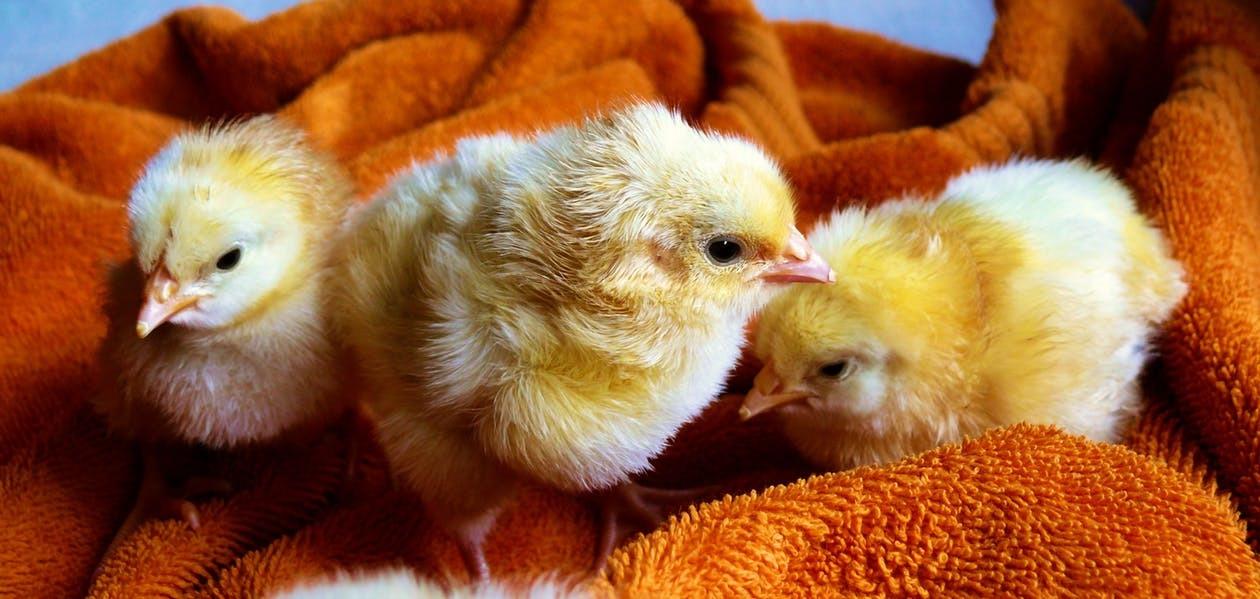 cute-animals-easter-chicken