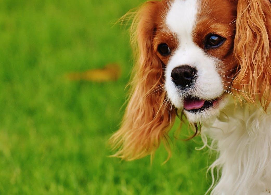 dog-cavalier-king-charles-spaniel-funny-pet-162167