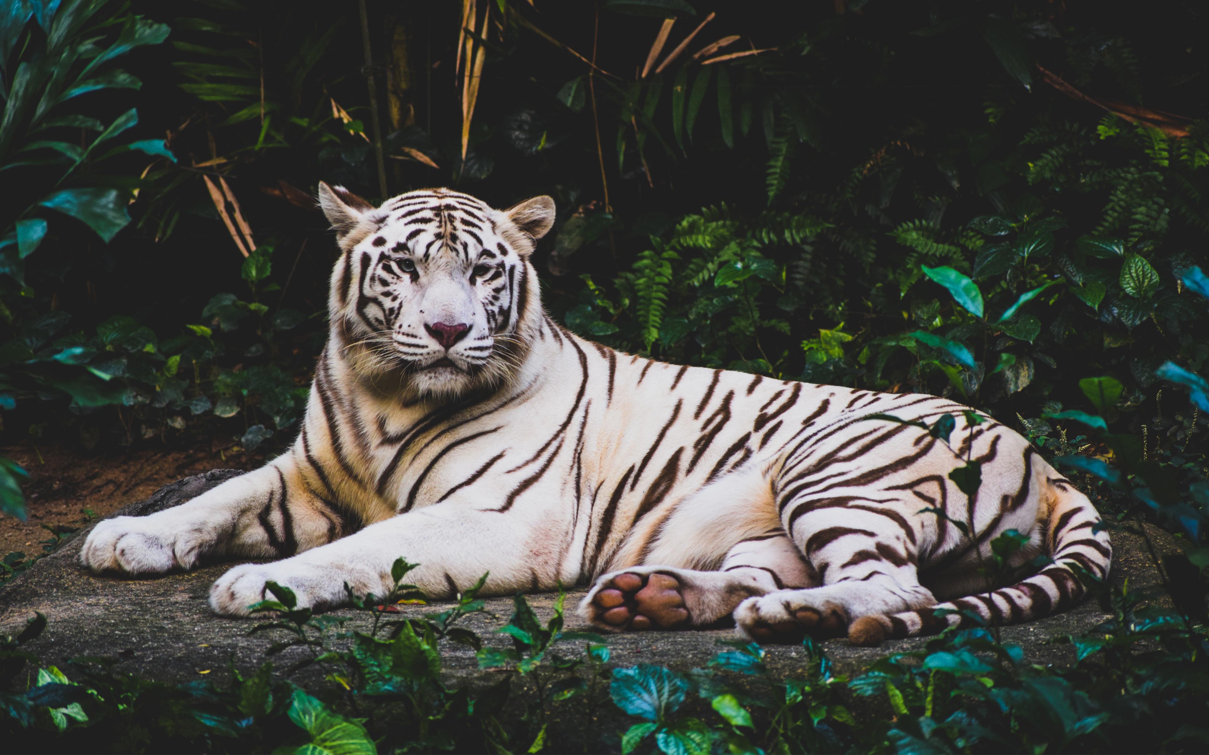white_tiger_hd_4k-wide