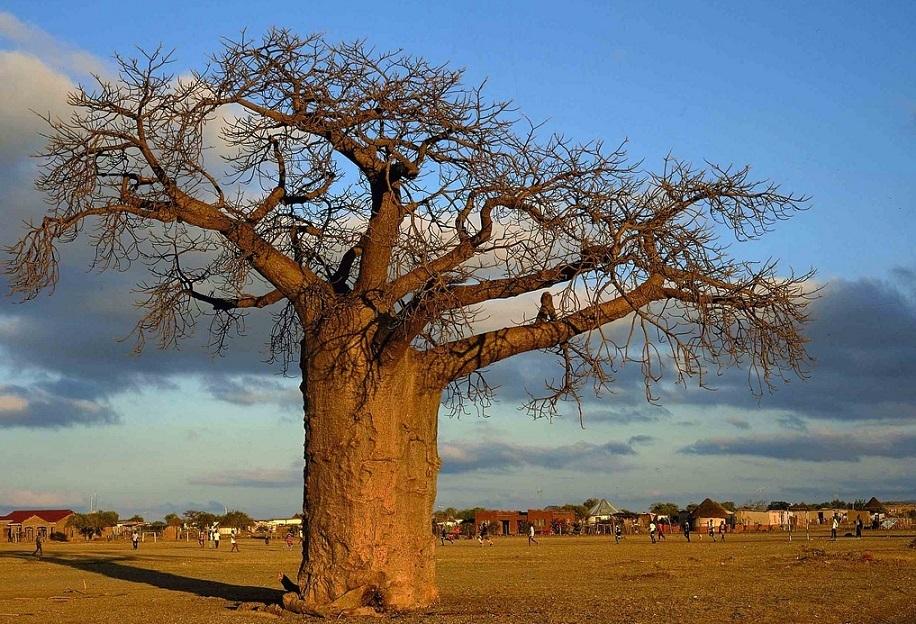 11-Baobab